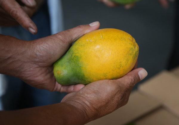 GMO rainbow papaya